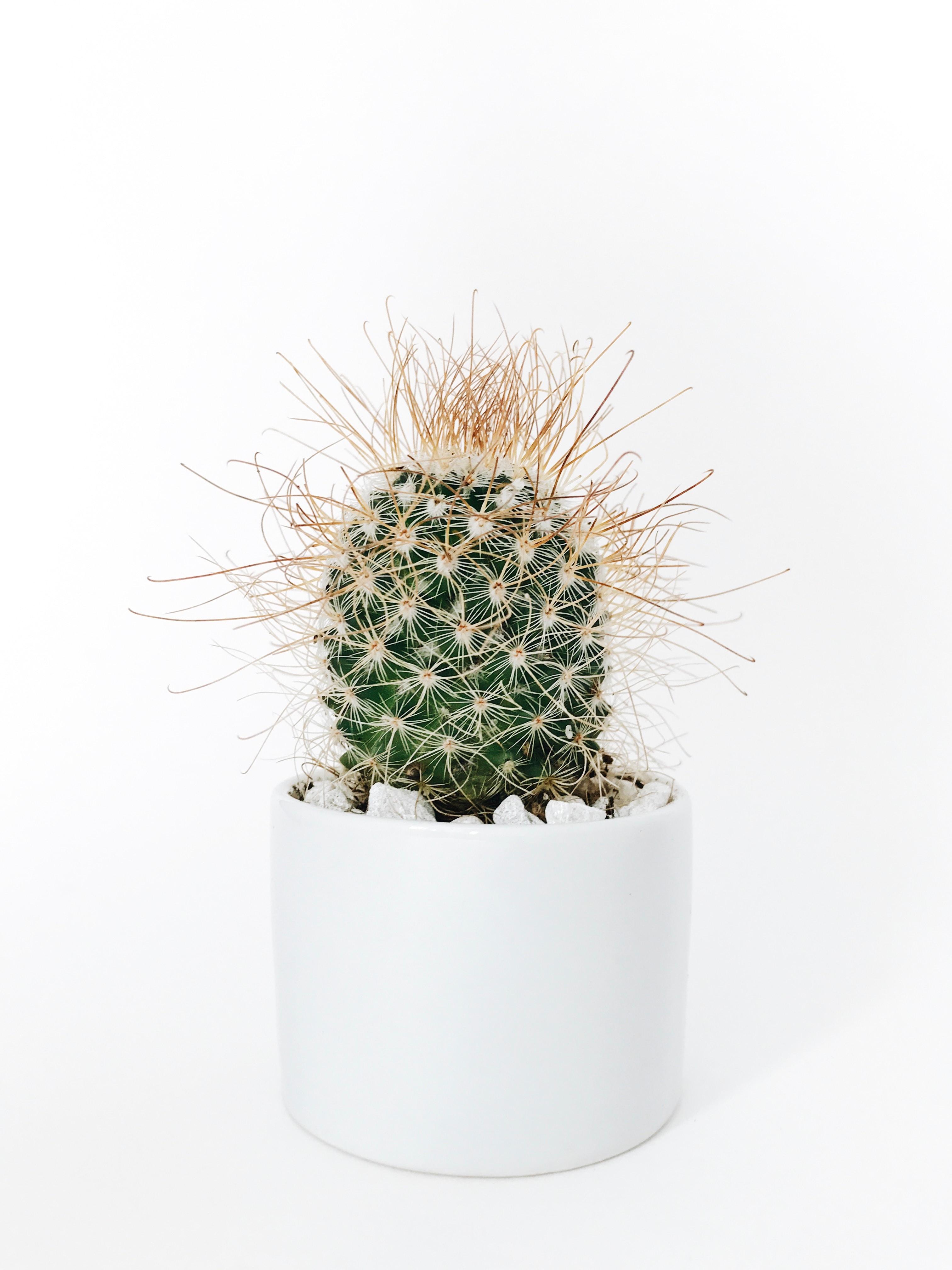 pöhöttynyt kaktus